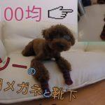 ダイソー(100均)で買った犬用メガネと靴下を装着してみた(#^^#)