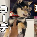 豆柴の子犬にサングラスをかけてみた!オシャレにコーディネート! Shiba inu Puppy  柴犬